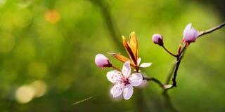 开花与拷贝空间的背景在春天 图库摄影