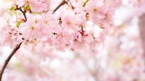 开花与拷贝空间的背景在春天 库存图片