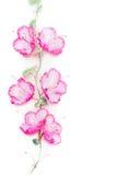 开花与桃红色开花的构成在白色背景的,顶视图上升的植物 免版税库存图片