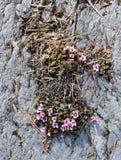 开花与桃红色花的山saxifrage 免版税库存照片