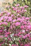开花与桃红色花的杜鹃花在尼泊尔 库存图片