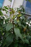 开花与桃红色花蕾的紫红色的茄科植物 库存图片