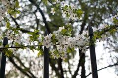 开花与白花的樱桃树 库存图片