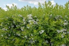 开花与白花的灌木 库存照片