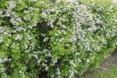 开花与白花的灌木 免版税库存图片