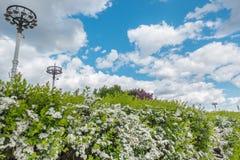 开花与白花的灌木 库存图片