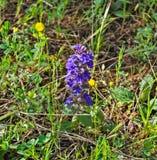 开花与紫色花的狂放的草甸花 库存照片