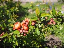开花与红色花的树分支在好日子 库存图片