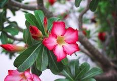 开花与绿色叶子的自然五颜六色的花红色沙漠玫瑰或adenium垂悬在树在庭院里 图库摄影