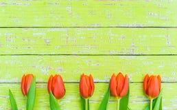 开花与美丽的新鲜的桔黄色郁金香的背景与拷贝空间 免版税库存照片
