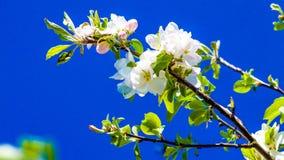开花与芽和白花的果树的分支与桃红色闪闪发光与一天空蔚蓝在背景中 免版税库存图片