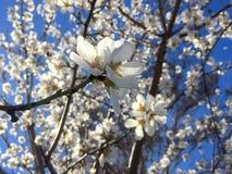 开花与蓝天的美好的春天 免版税库存图片