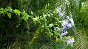 开花与蓝色开花的石墨auriculata在雨下 股票视频