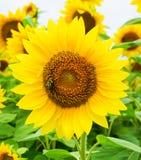 开花与蜂蜜蜂的一个金黄黄色向日葵 免版税库存图片