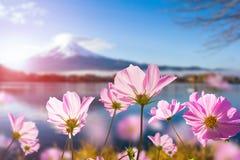 开花与透亮的桃红色波斯菊花在瓣 库存图片