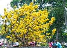 开花与黄色开花盆景分支弯曲的杏树创造春天独特的秀丽  免版税库存照片