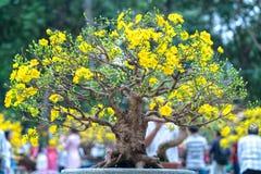 开花与黄色开花盆景分支弯曲的杏树创造春天独特的秀丽  免版税库存图片