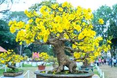 开花与黄色开花盆景分支弯曲的杏树创造春天独特的秀丽  免版税图库摄影