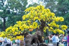 开花与黄色开花盆景分支弯曲的杏树创造春天独特的秀丽  库存图片