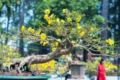 开花与黄色开花盆景分支弯曲的杏树创造春天独特的秀丽  图库摄影