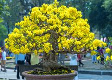 开花与黄色开花盆景分支弯曲的杏树创造春天独特的秀丽  库存照片