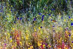 开花与晴朗的狸藻 库存照片