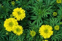 开花与绿色的万寿菊花或Tagetes离开背景 免版税库存图片