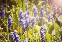 开花与紫色风轮草的背景 库存照片