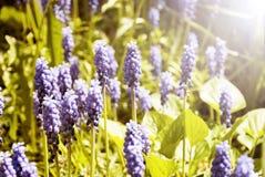 开花与紫色风轮草的背景 免版税库存照片