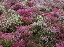 开花丛生桃红色紫色白色 免版税库存照片