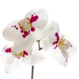 开花两朵枝杈被察觉的兰花在白色后面被隔绝 库存图片