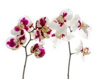 开花两朵枝杈被察觉的兰花在白色后面被隔绝 库存照片