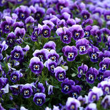 开花中提琴紫罗兰 免版税库存图片