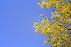 开花五颜六色的金黄阵雨或ratchaphruek的花  免版税库存照片