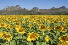 开花充分向日葵领域在Lopburi泰国 库存照片