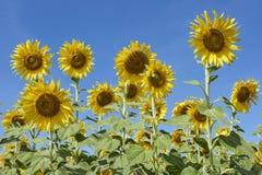 开花充分向日葵领域在Lopburi泰国 库存图片