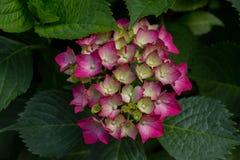 开花八仙花属粉红色 库存照片