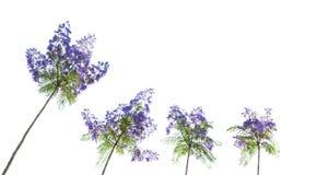开花兰花楹属植物结构树 库存照片