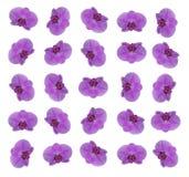 开花兰花模式紫色 免版税库存图片