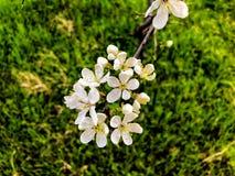 开花分支特写镜头 春天天气,晴朗的天空,开花的树在村庄 库存照片