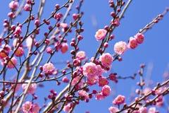 开花分支花桃红色李子春天 免版税图库摄影