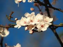 开花加拿大樱桃 免版税图库摄影