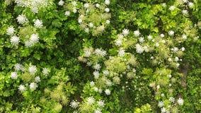 开花危险毒性植物Heracleum,鸟瞰图 亦称巨人Hogweed或欧洲畜牧草,鸟瞰图 股票录像