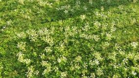 开花危险毒性植物Heracleum,鸟瞰图 亦称巨人Hogweed或欧洲畜牧草,鸟瞰图 股票视频