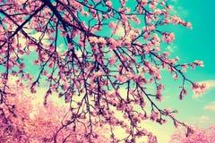 开花反对蓝天的苹果树 库存照片