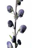 开花可爱的紫色 免版税库存图片