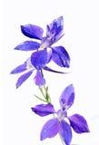 开花可爱的紫色 图库摄影