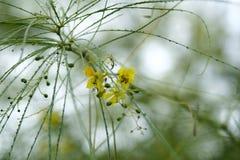 开花叶子变薄结构树黄色 免版税库存照片