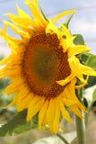 开花向日葵 我们高兴在阳光下 晴朗的花 热夏天 工厂 免版税库存图片