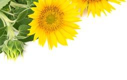 开花向日葵 库存照片